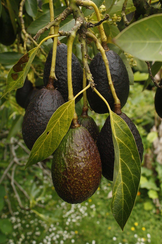 avocado fruit tree