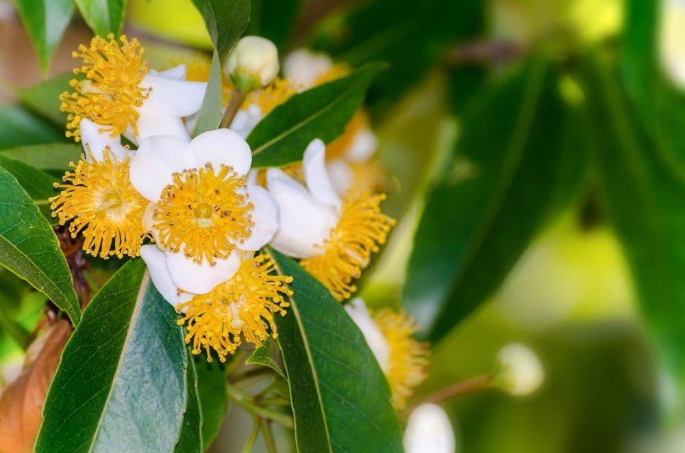 Callophyllum flower